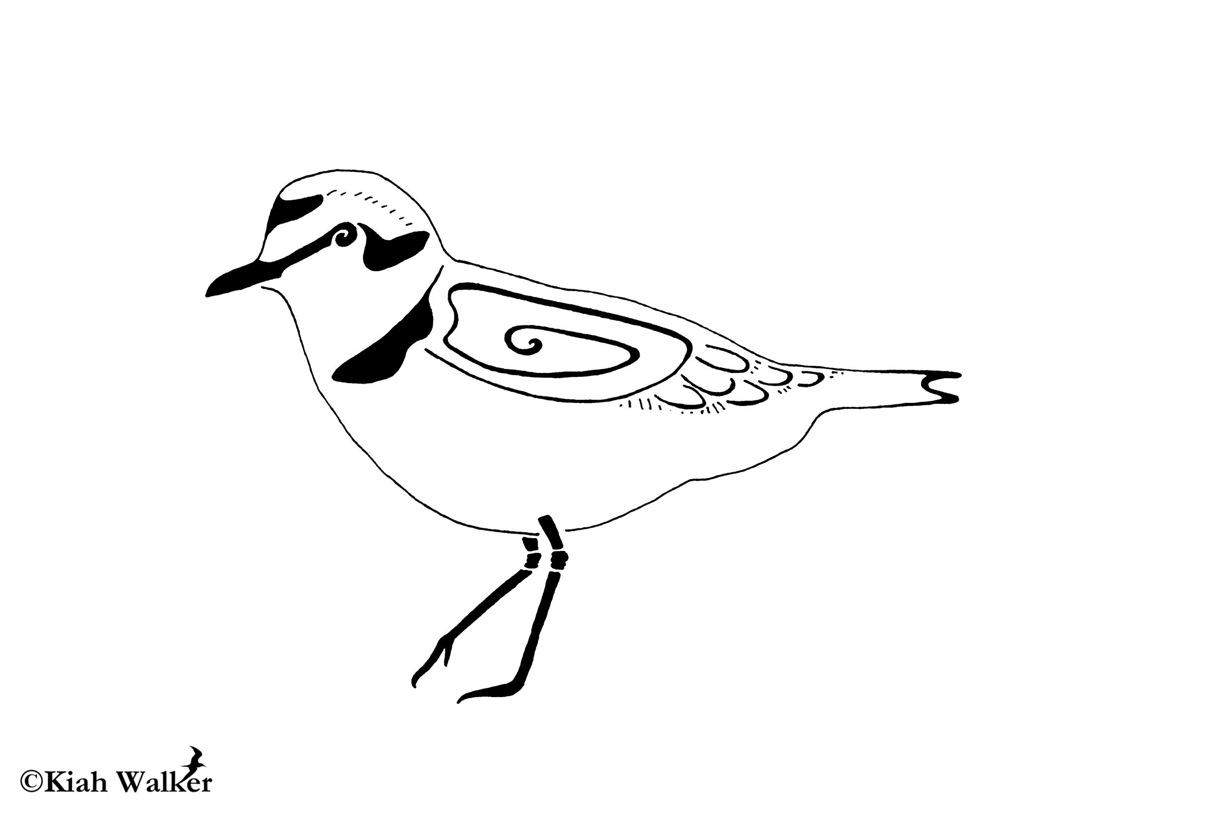 Snowy plover ( Charadrius nivosus )
