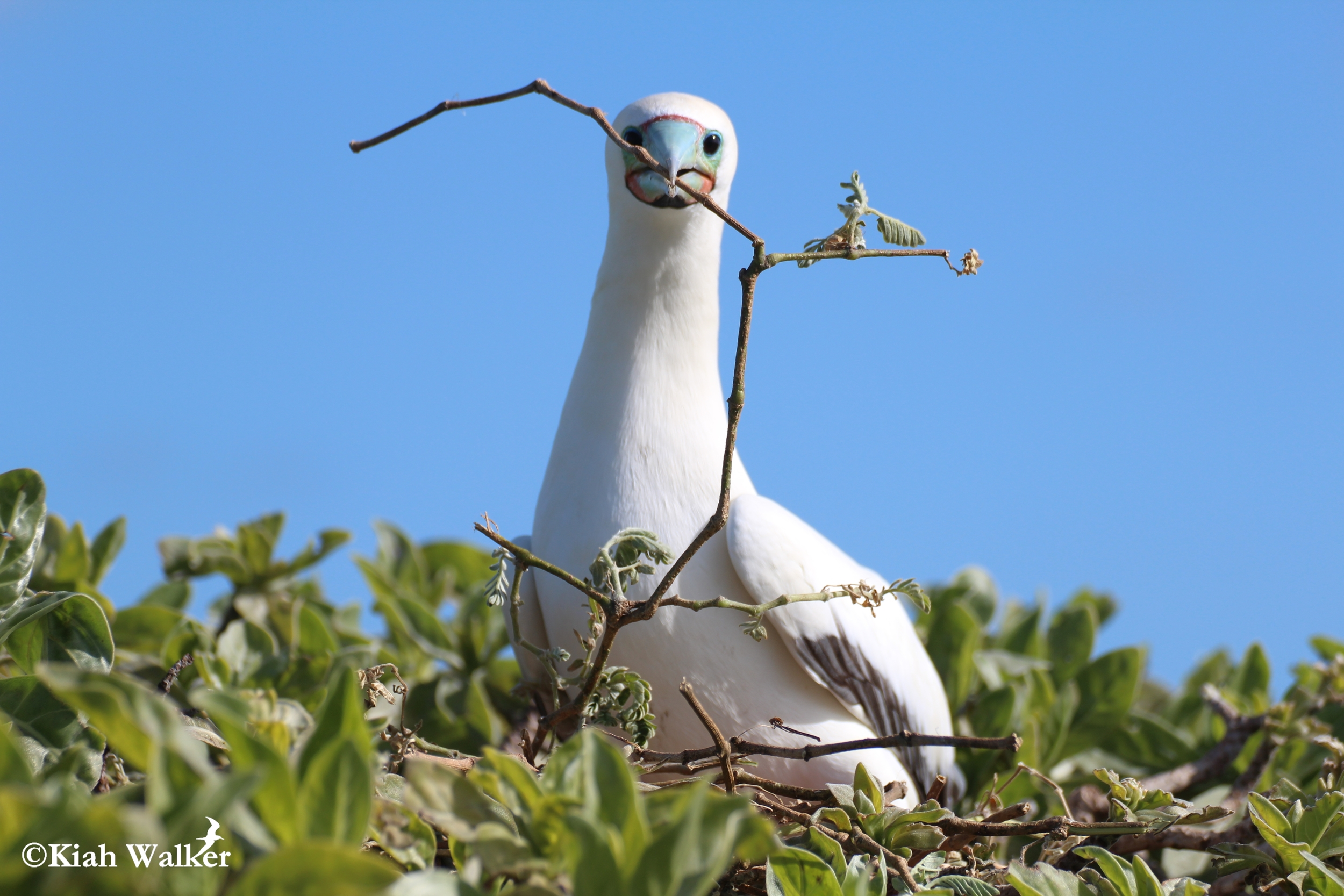 Red-footed booby ( Sula sula ) with nesting material