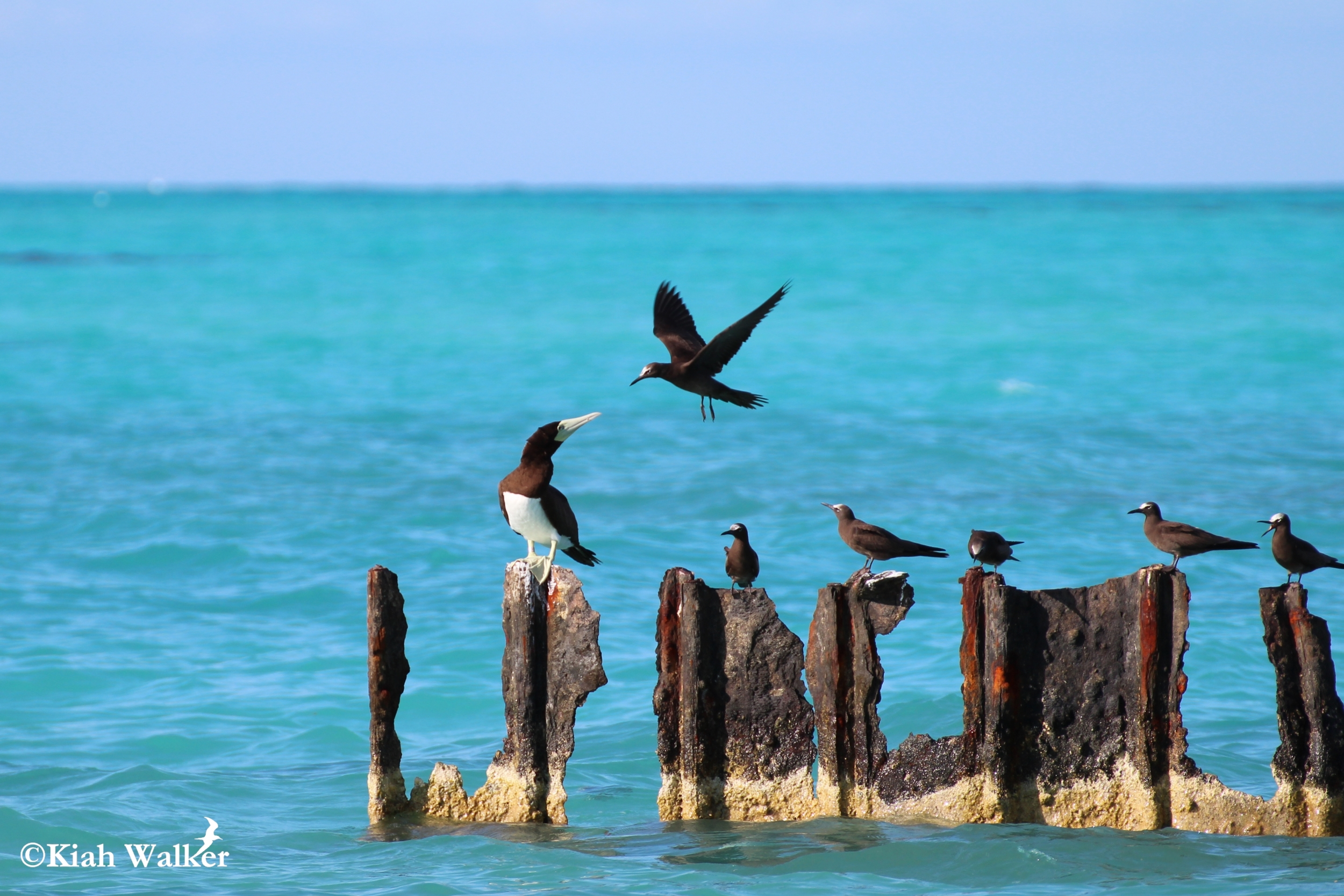 Brown booby ( Sula leucogaster ) with brown noddies ( Anous stolidis )