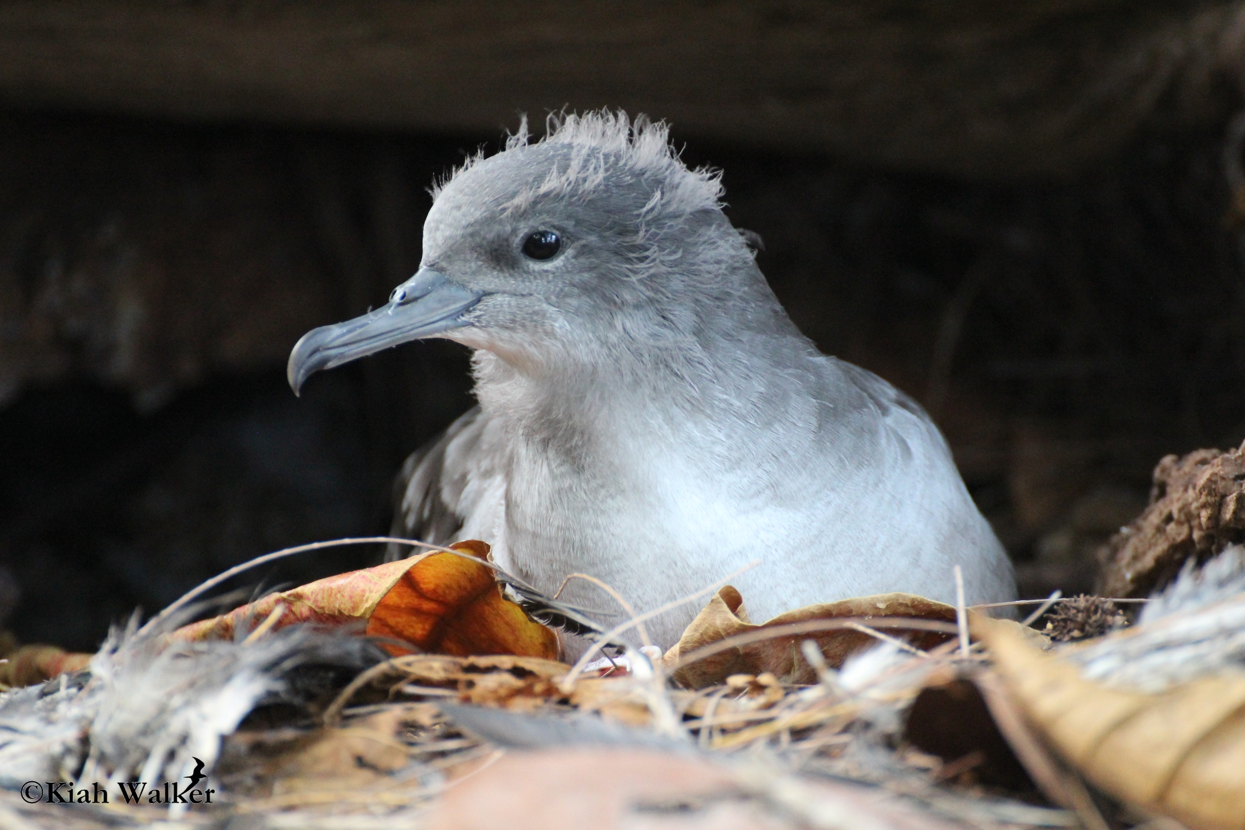 Wedge-tailed shearwater ( Puffinus pacificus ) preparing to fledge