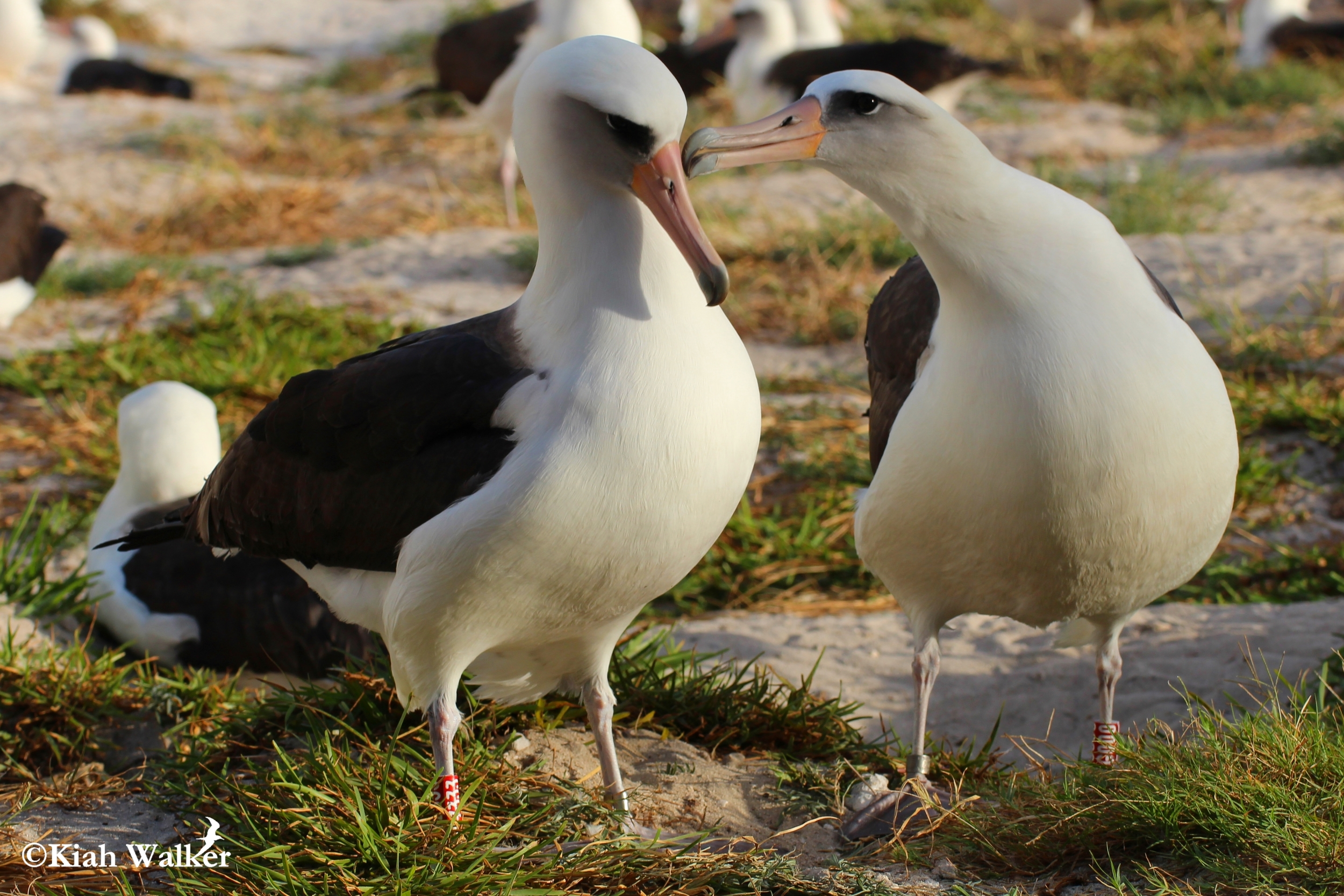 Wisdom (left) getting preened by her mate. Wisdom is a Laysan albatross ( Phoebastria immutabilis ) and the oldest known wild bird in the world at a minimum age of 65. Image featured on nationalgeographic.com and by numerous other news outlets.