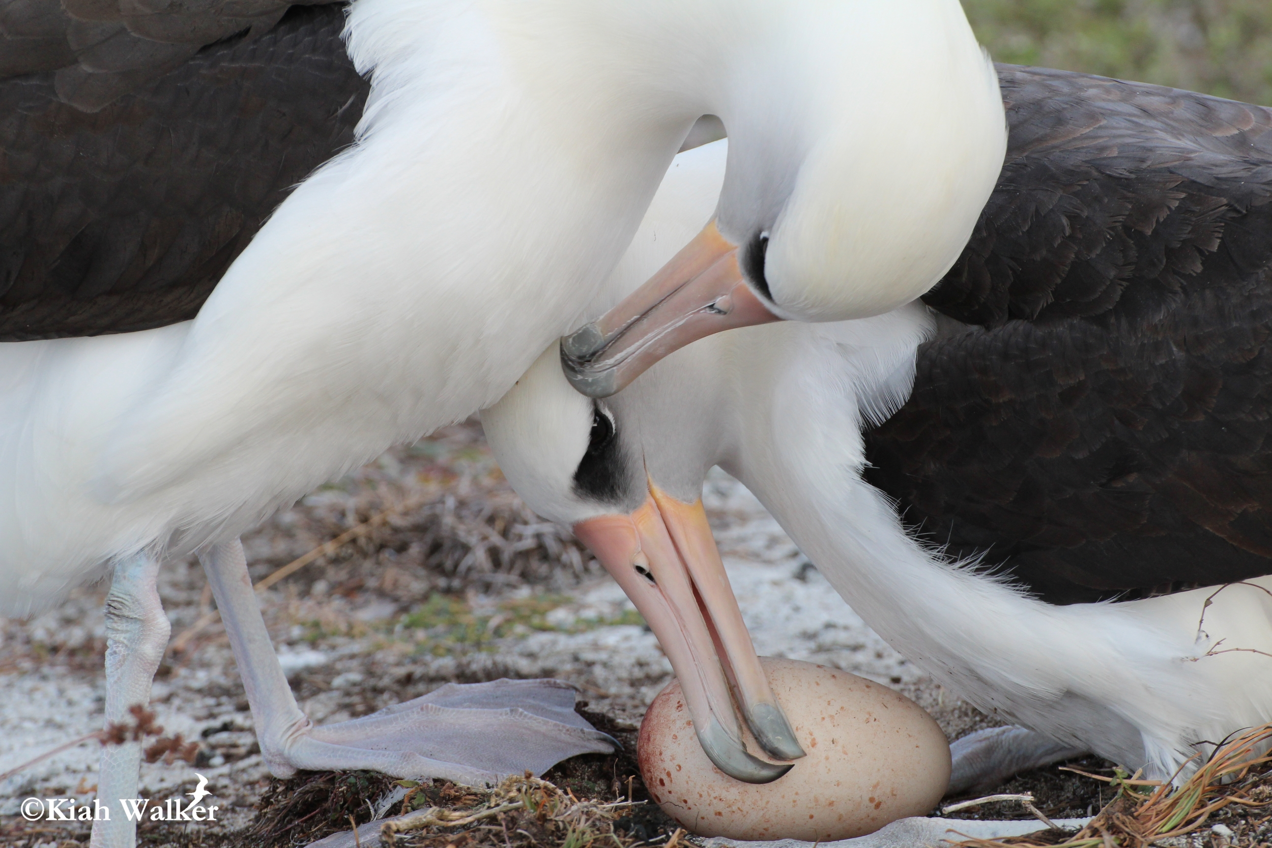 Laysan albatrosses ( Phoebastria immutabilis ) tending to their new egg