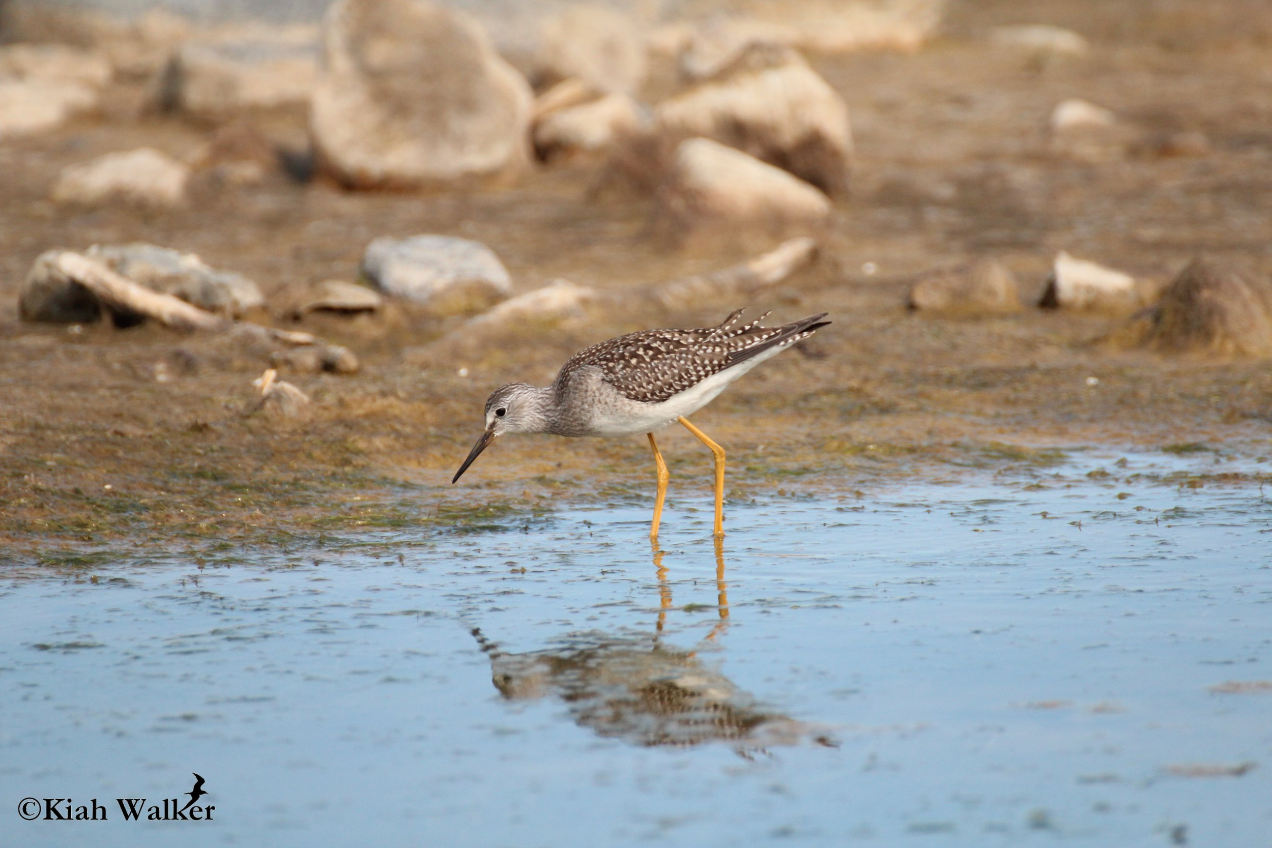 Lesser yellowlegs ( Tringa flavipes )