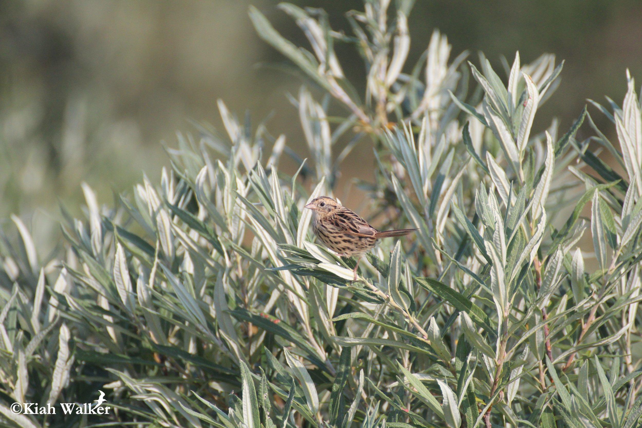 Le Conte's sparrow ( Ammodramus leconteii )