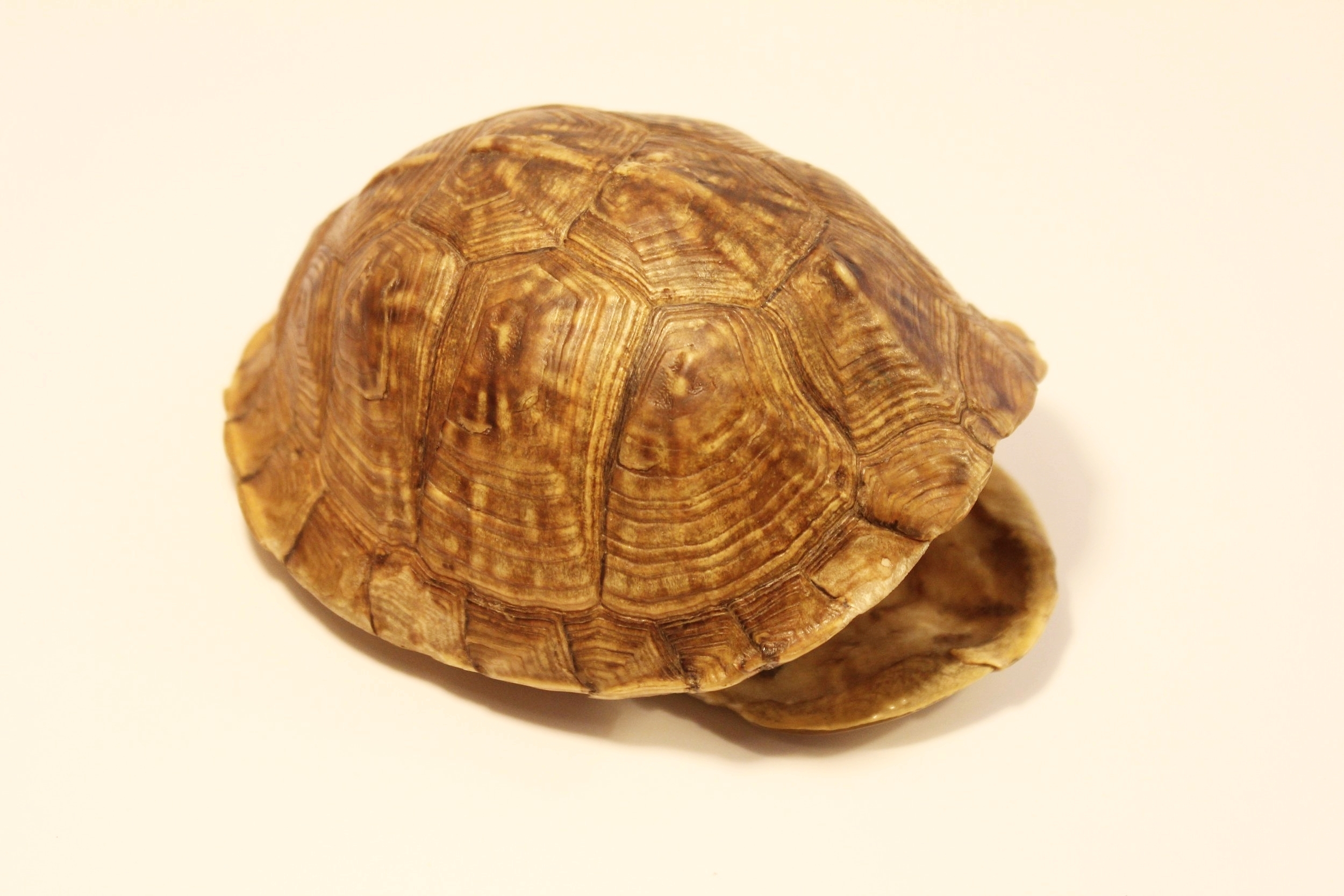 Eastern Box Turtle Shell