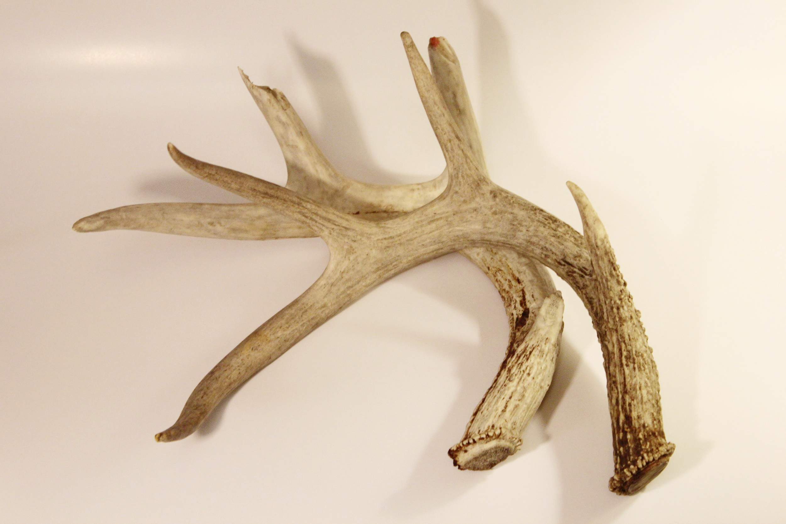 White-tailed Deer Sheds