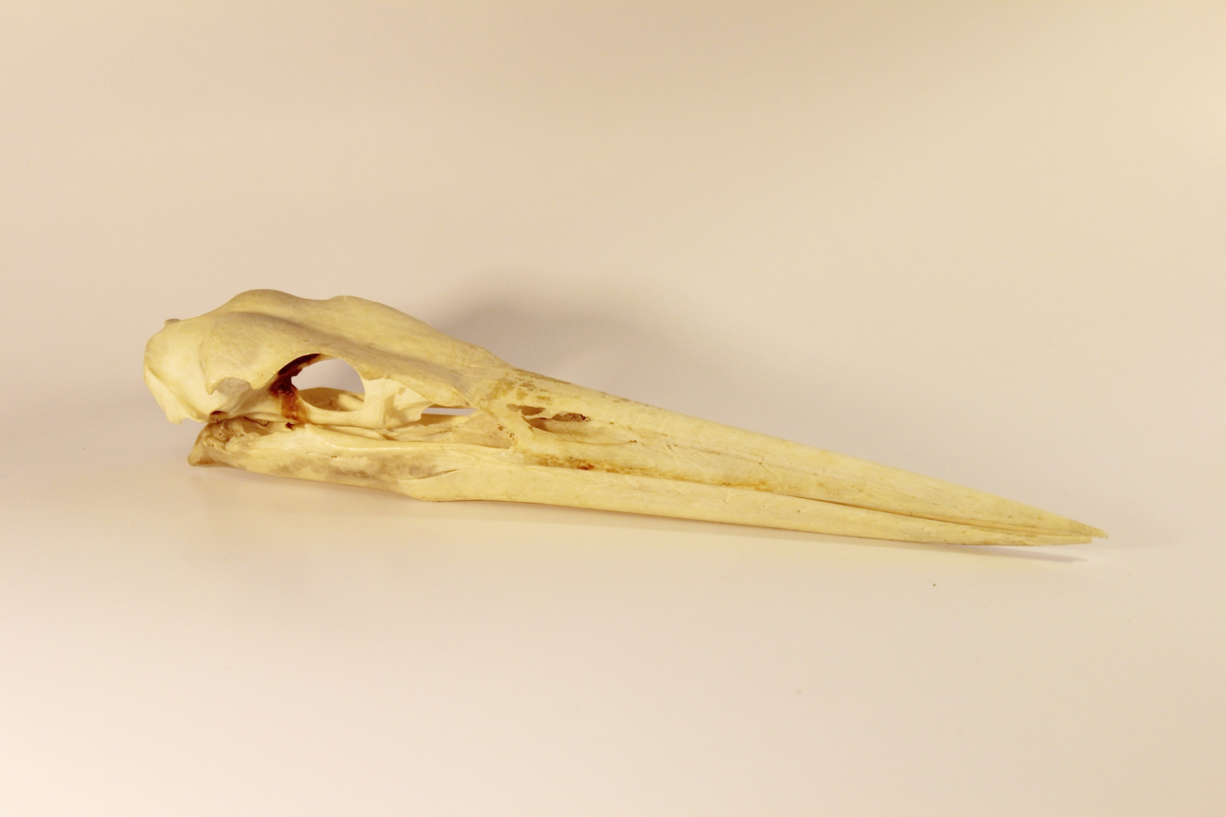 Great Blue Heron Skull