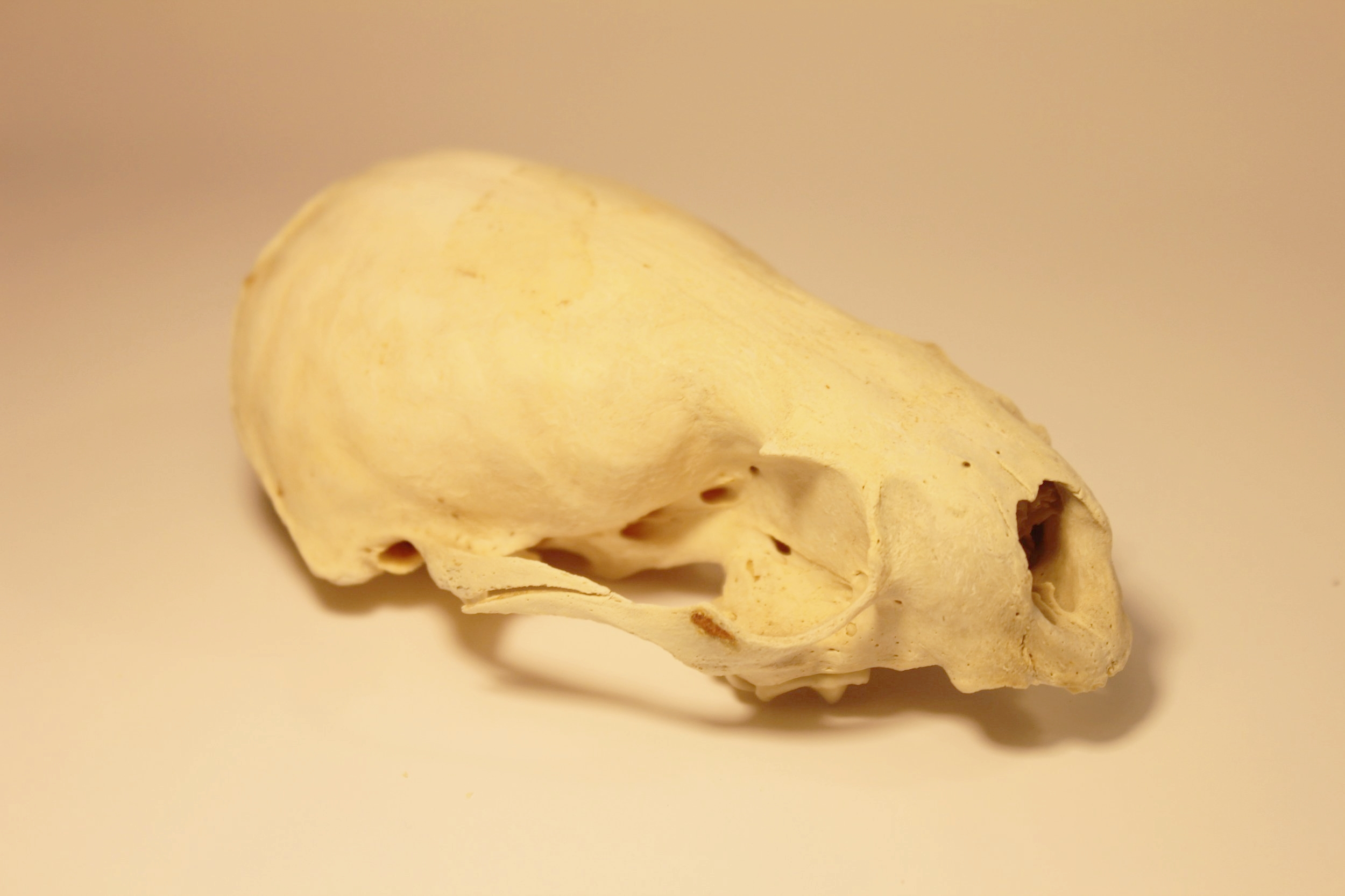 North American River Otter Skull