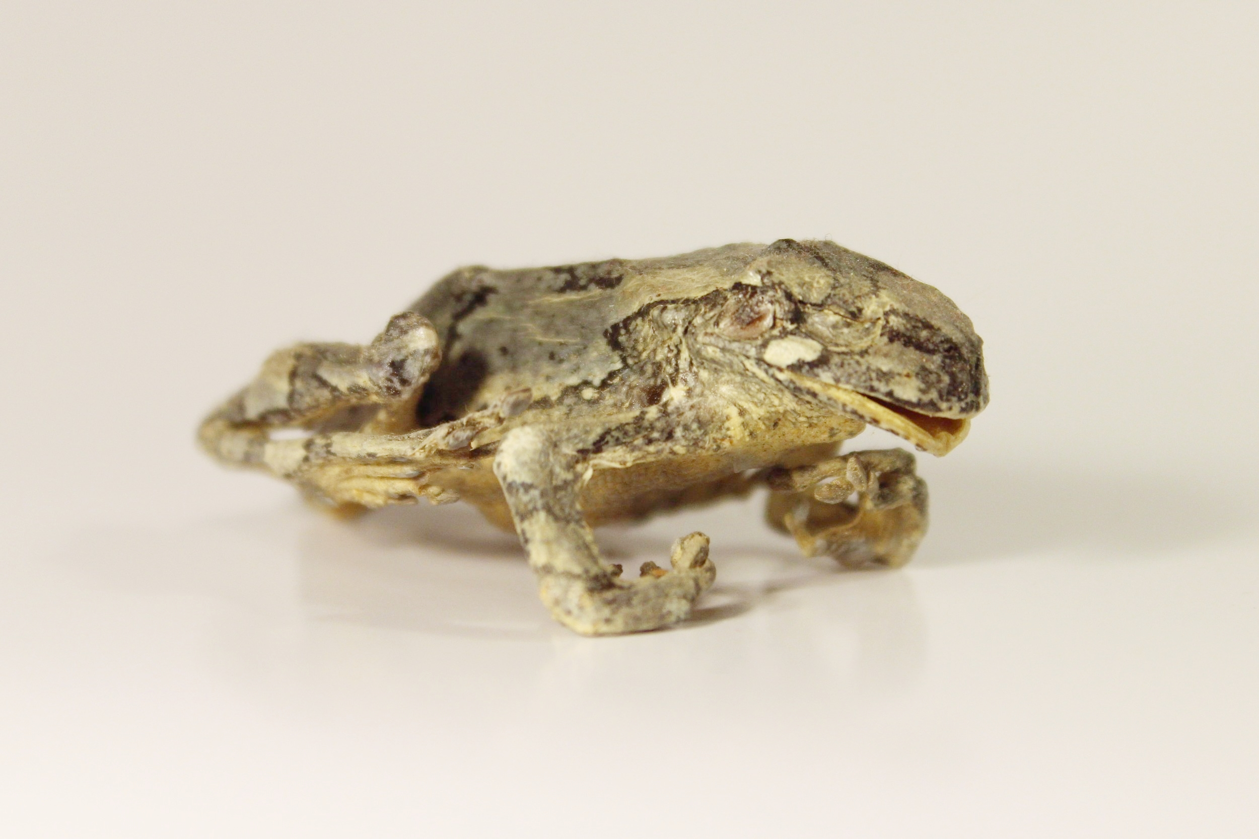 Mummified Gray Tree Frog