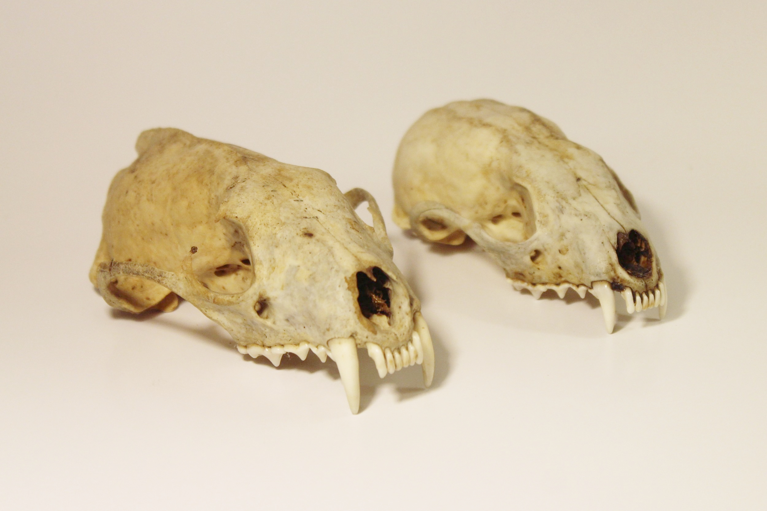 Adult and Immature Fisher Skulls