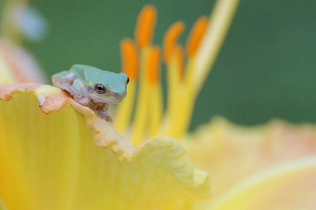 """Why are frogs so happy? They eat whatever bugs them."" #greytreefrog"