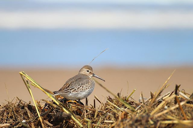 North American shorebird populations have declined by more than a third since 1970, according to a recent study in the journal Science. While many species (like dunlin) breed in the arctic, they contend with extensive habitat loss and disturbance on their migration routes and wintering grounds. #sharetheshore #dunlin