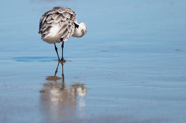 Self care: it's not just for the birds #sanderling