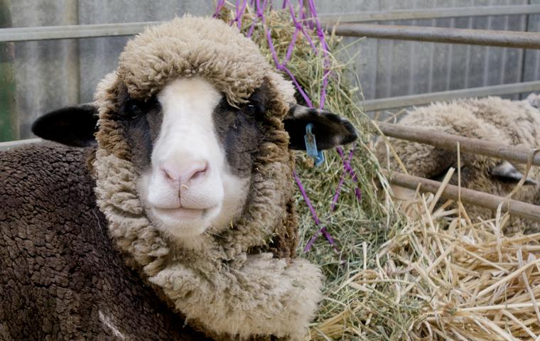brwn sheep.jpg