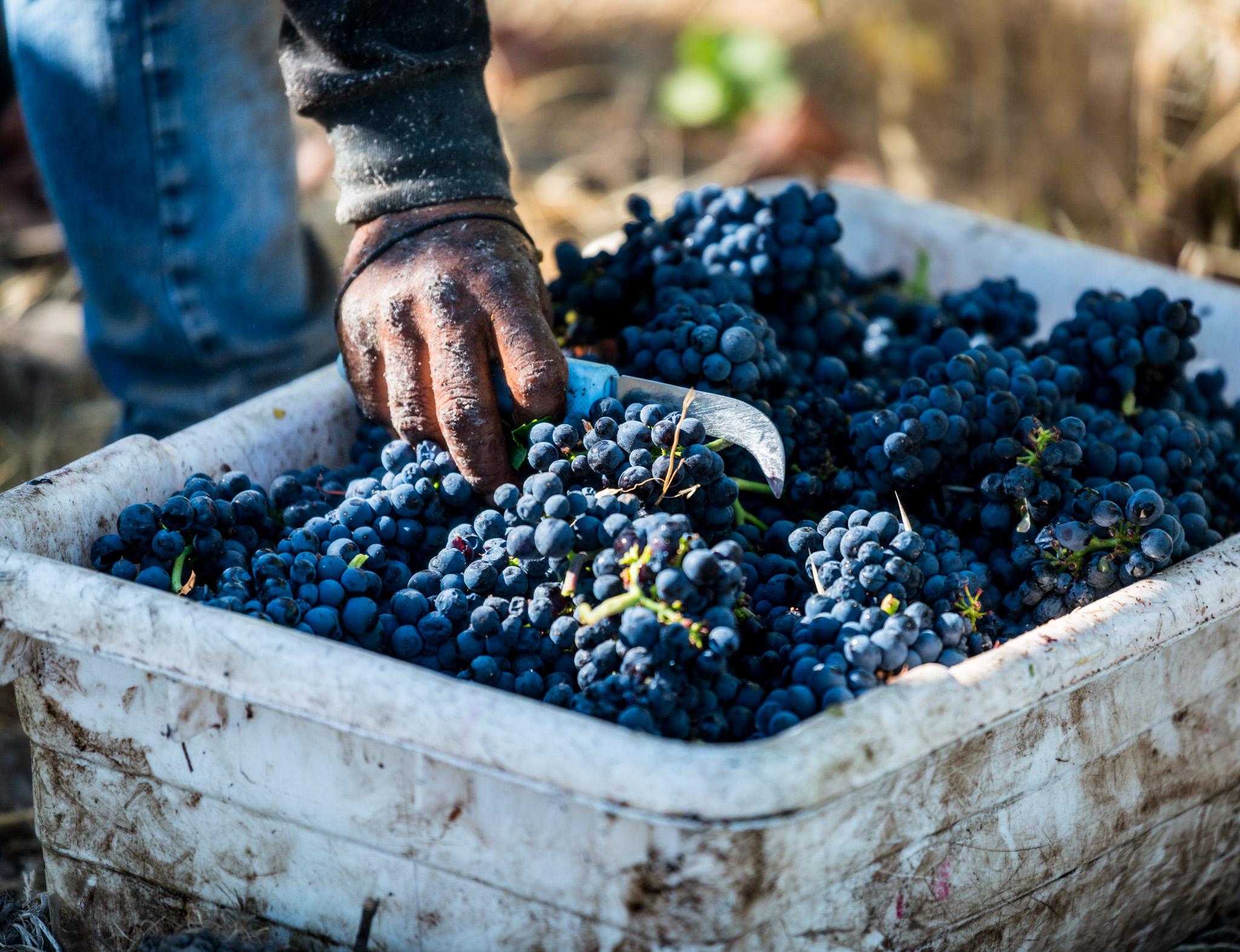 Close up grape.JPG
