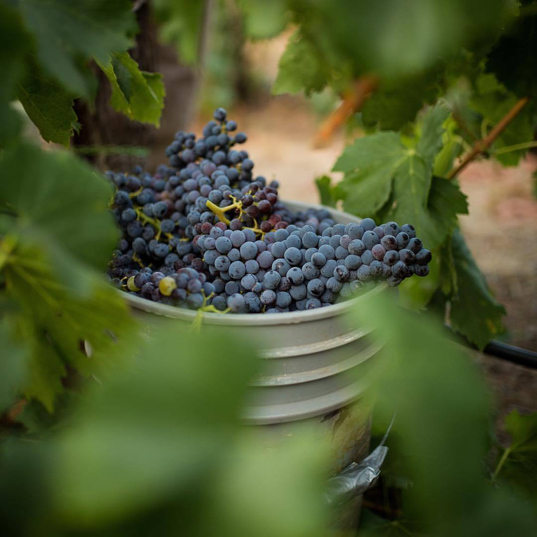 WS: Withers harvested grapes.jpg