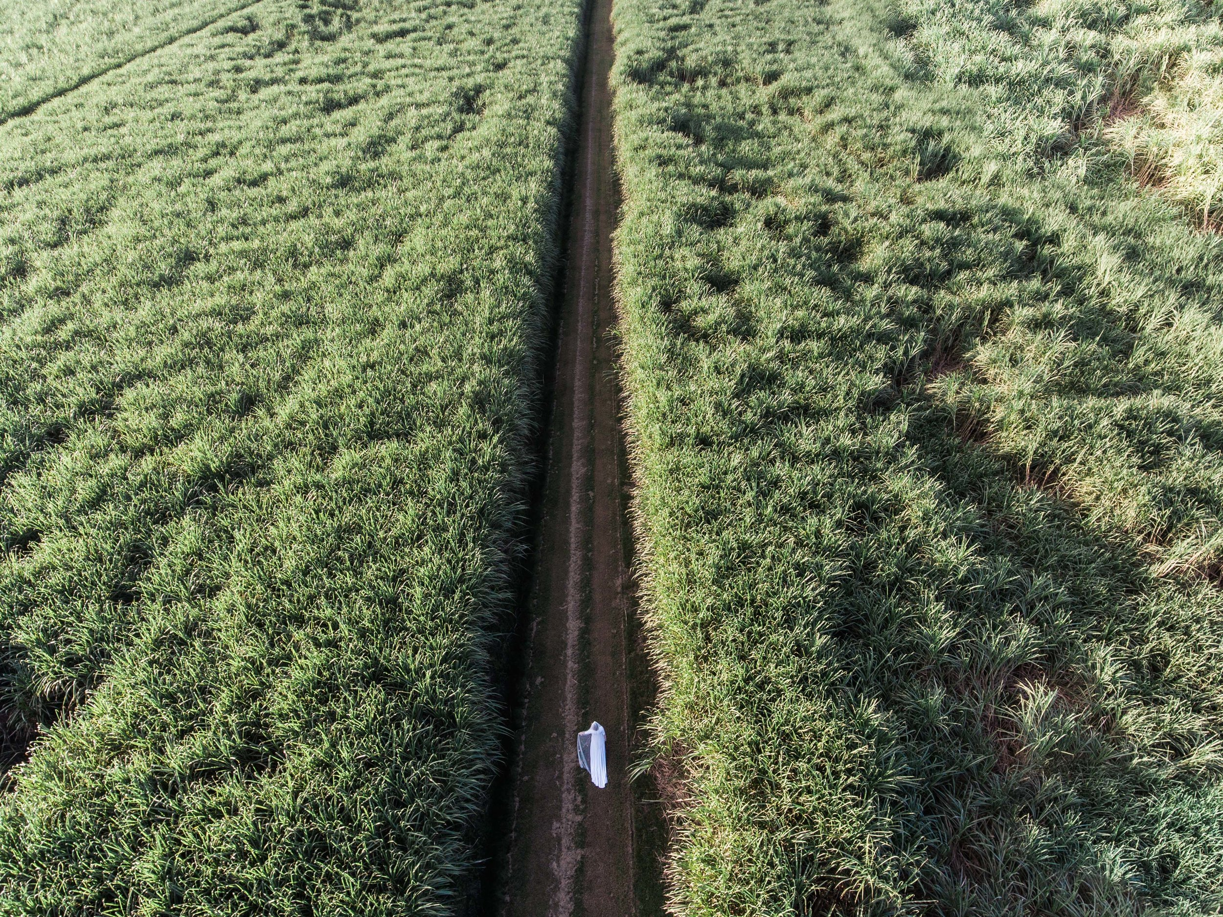 Beautiful Bride Ness walking through  the cane fields - Drone photography