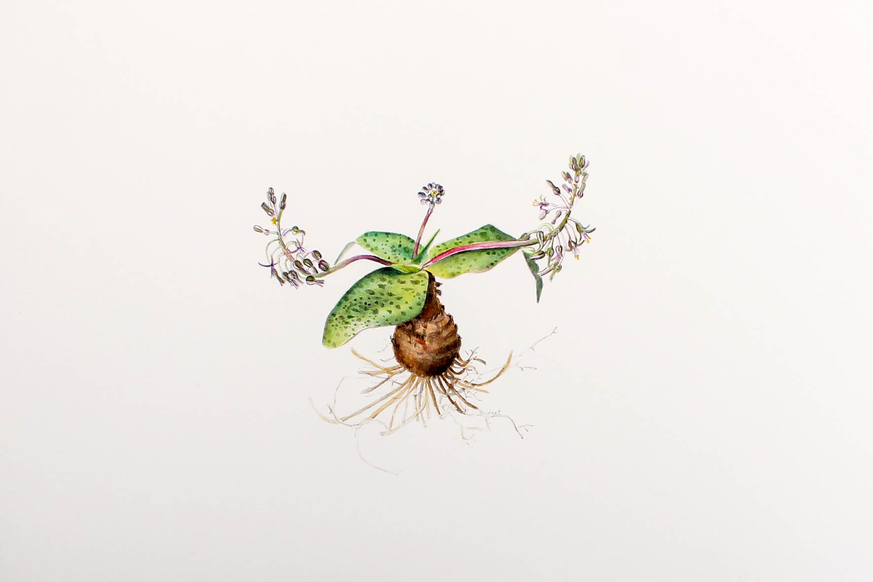 Bridget Heneck botanical drawings