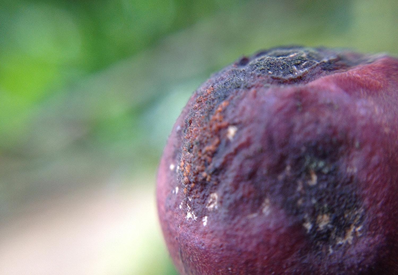 Flora microbiana sobre a casca do fruto do cafeeiro