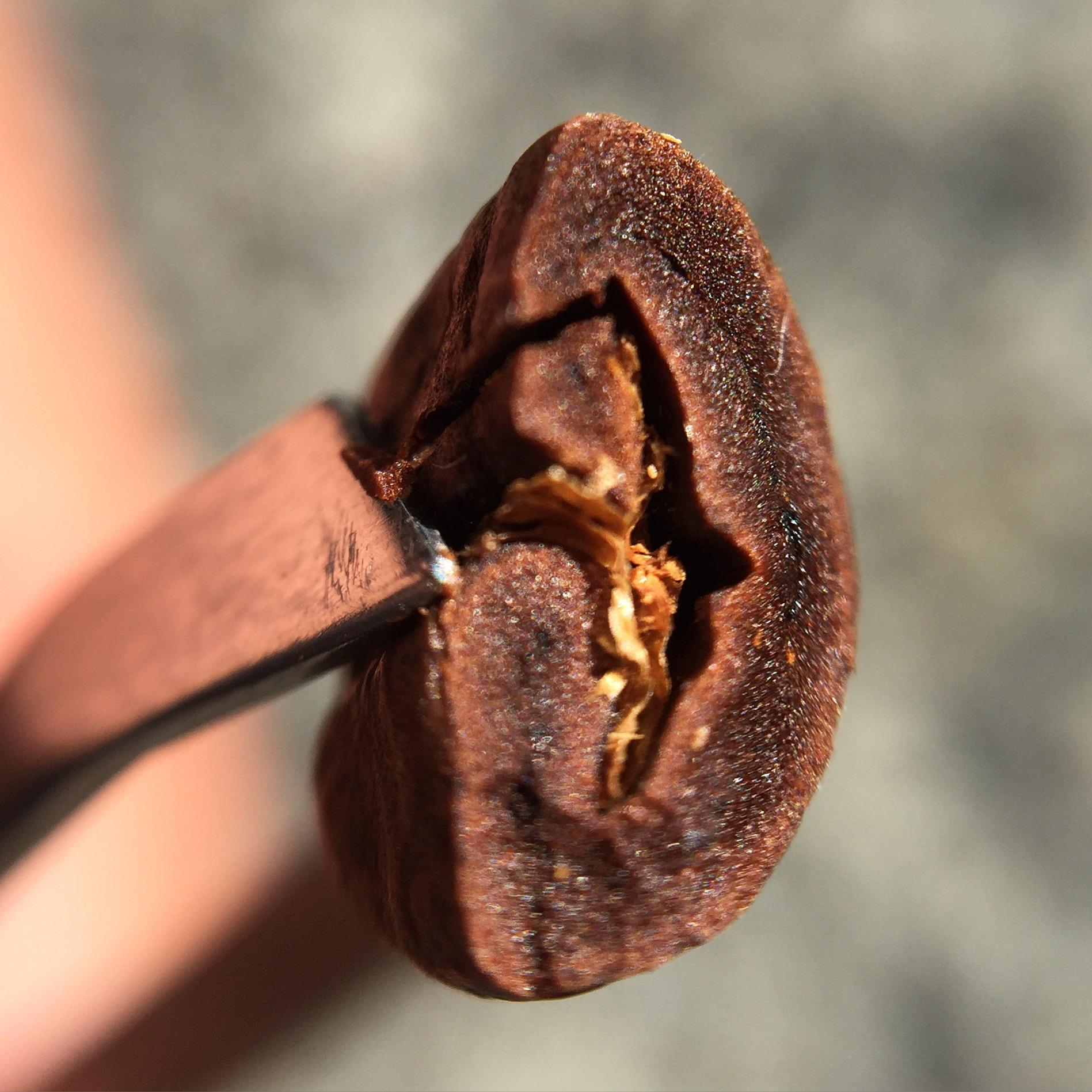 Semente de Café Torrada (Corte): observe a selagem periférica devido à caramelização.