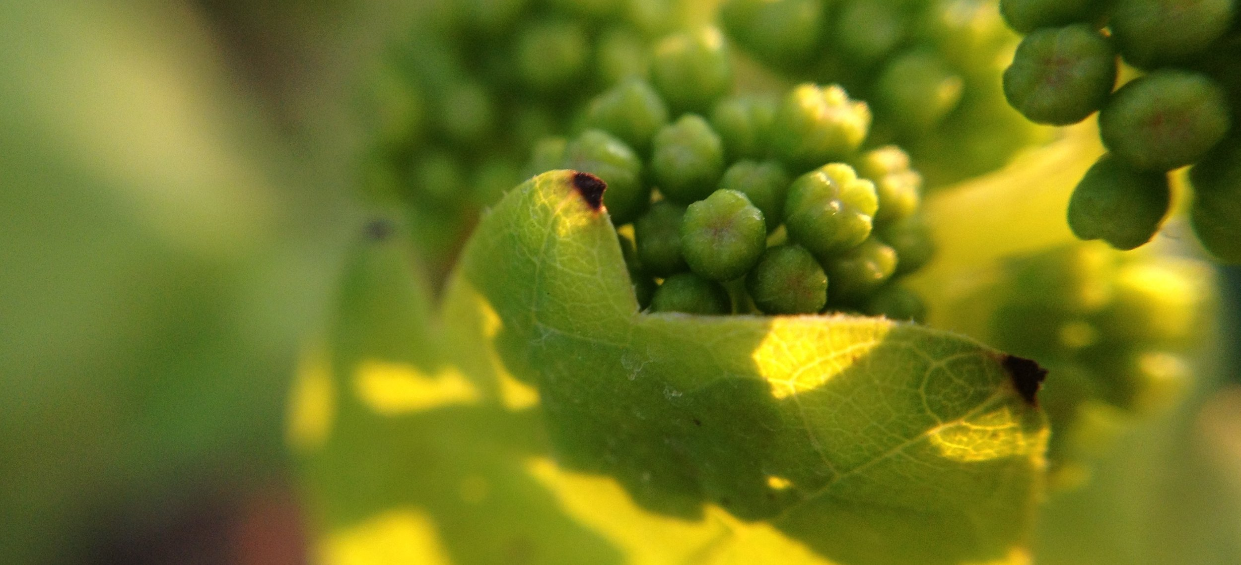 Uvas sirah, vinícola Pireneus, GO.