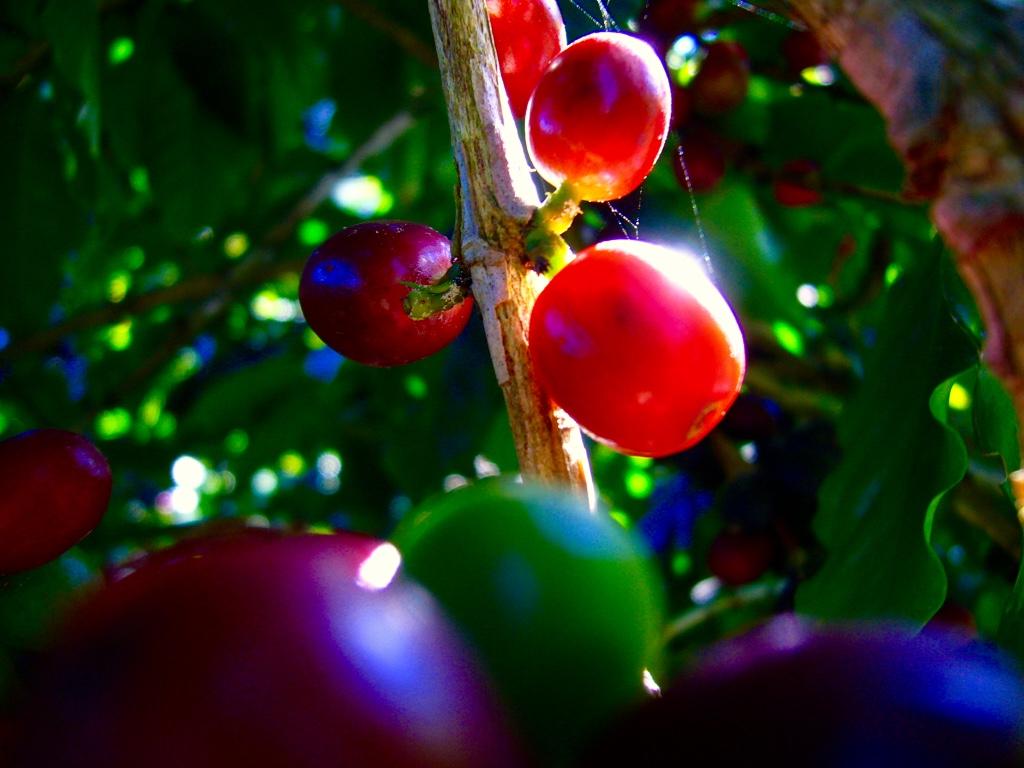Frutas maduras
