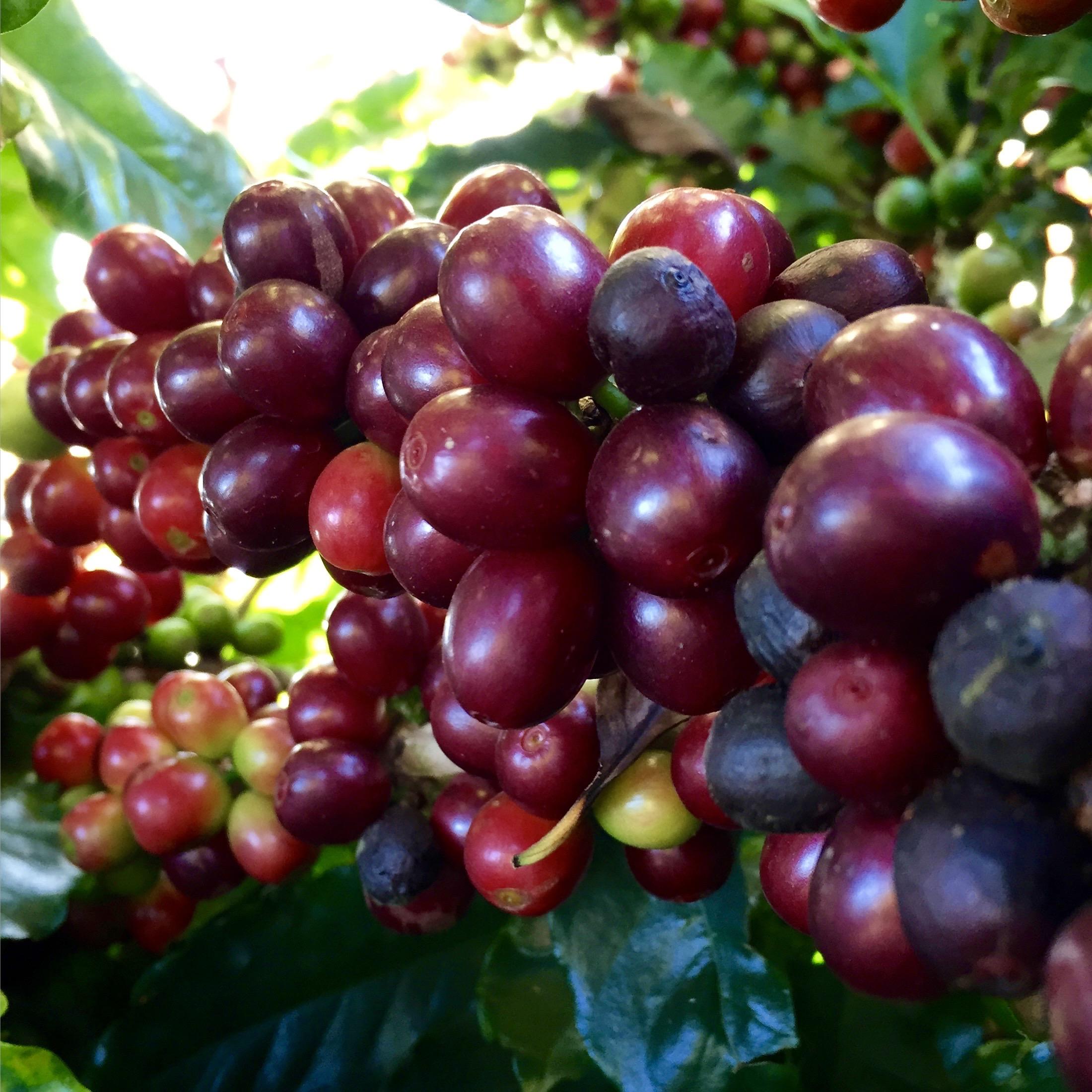 Frutas do cafeeiro em final de ciclo