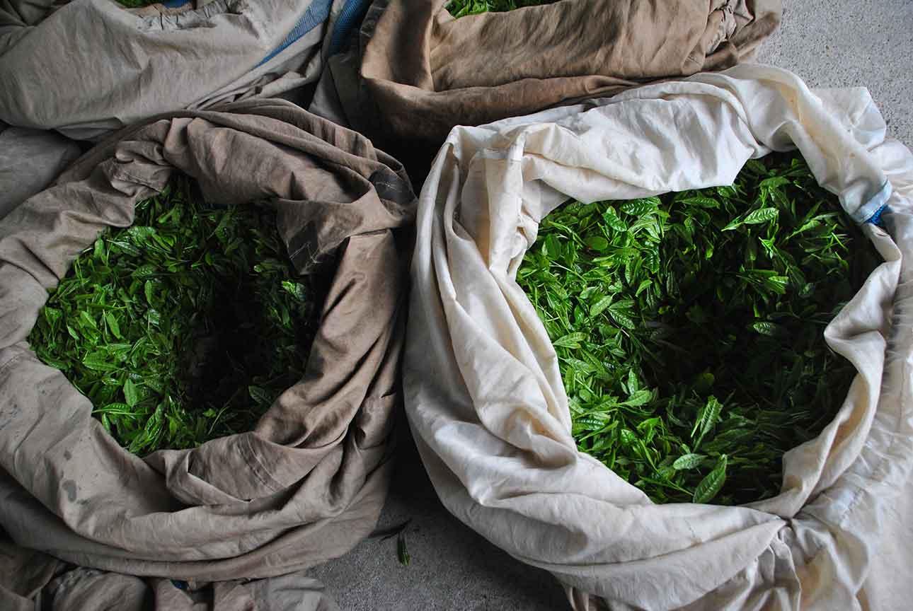 What is the tea harvest.jpg