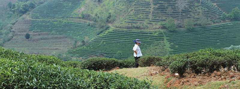 Doi Mae Salong Estate, Thailand   Photo: Rishi Tea