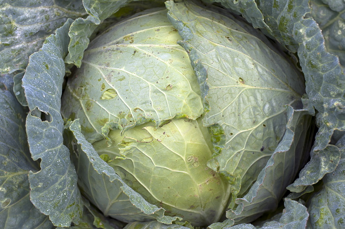 The farmer tells me he often eats green cabbage raw in salads.