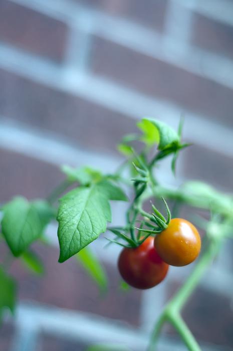 cherrytoms