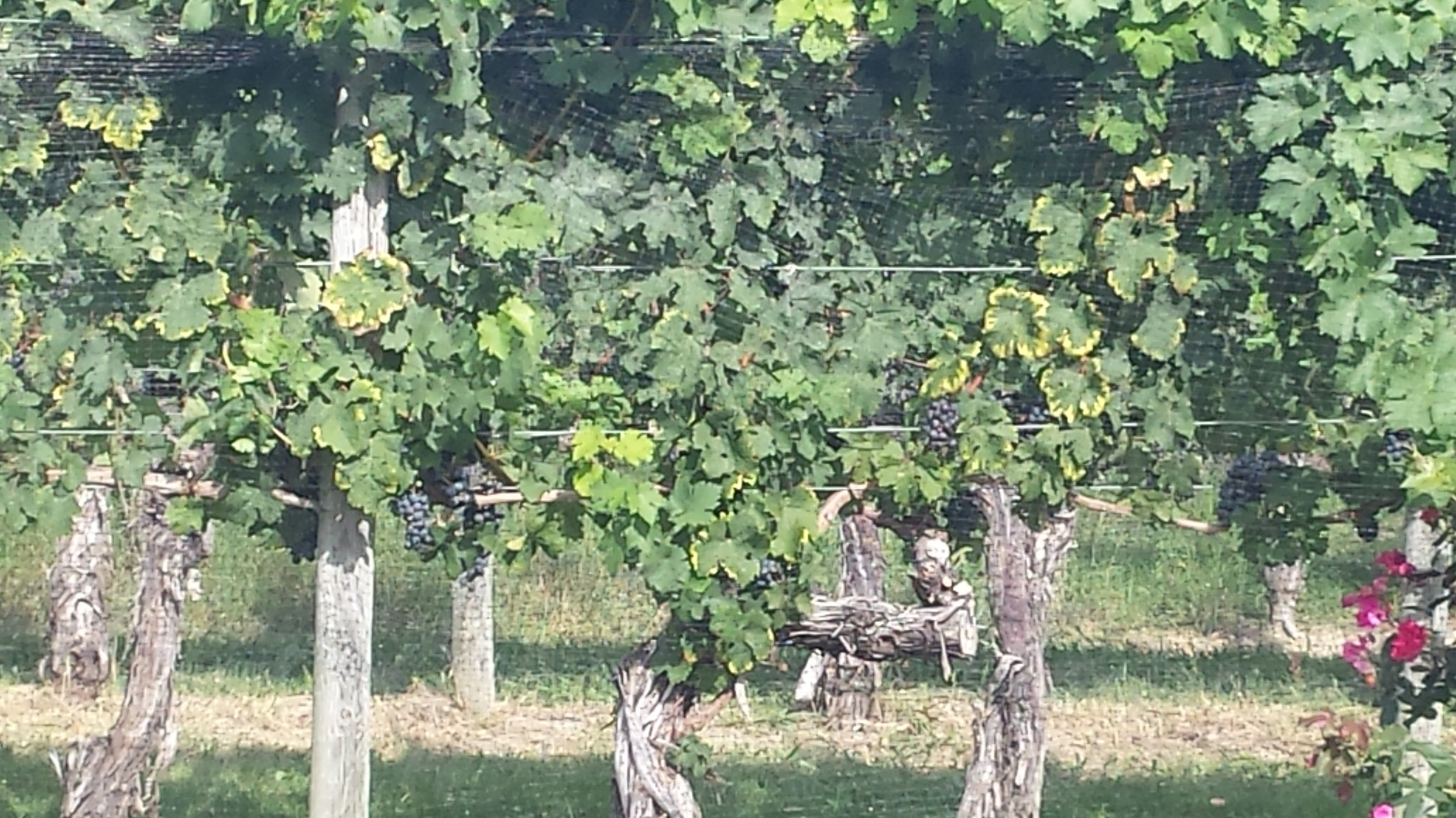 The vines were heavy with fruit... more good wine to come!