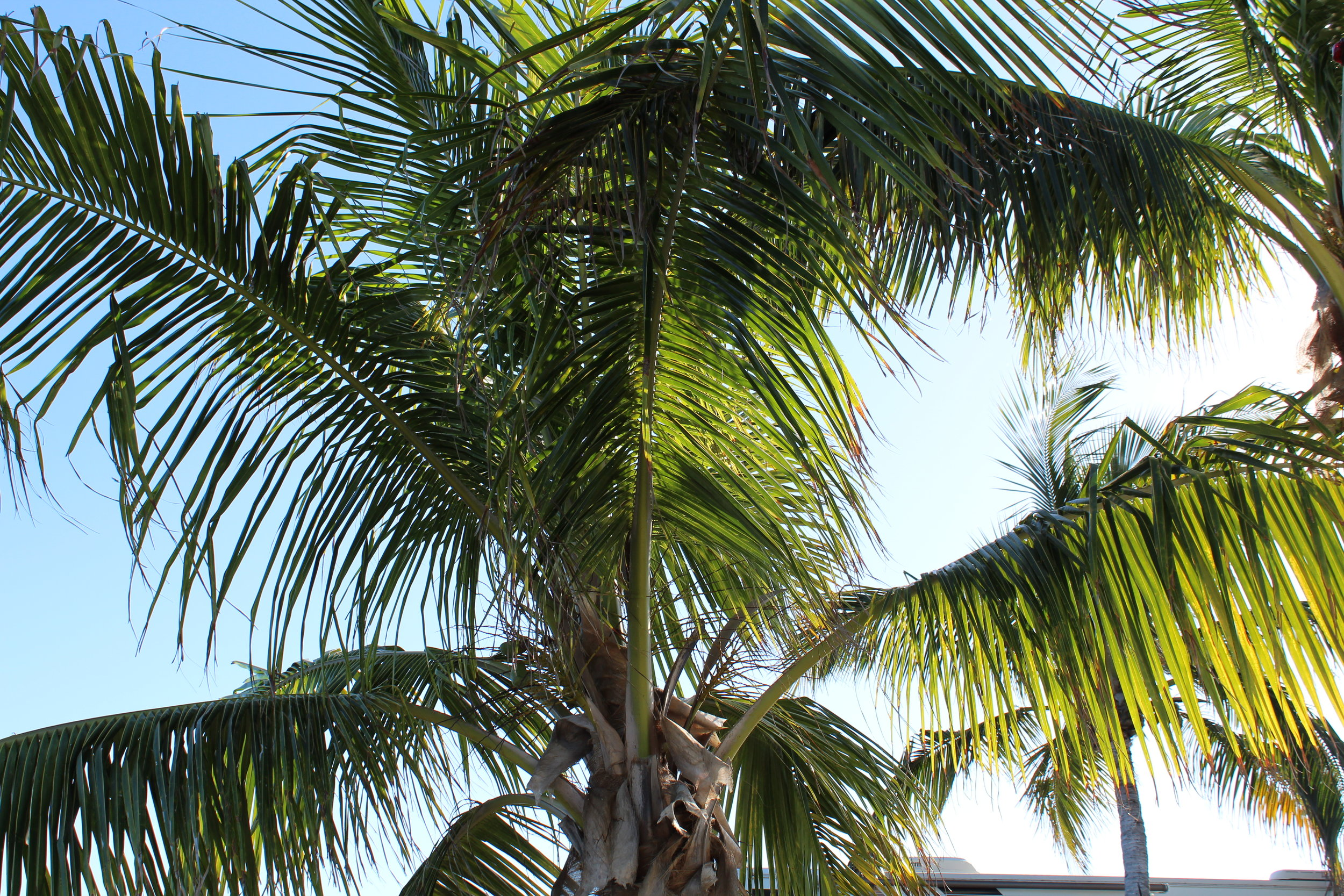 Ever-present palms are iconic in the Keys