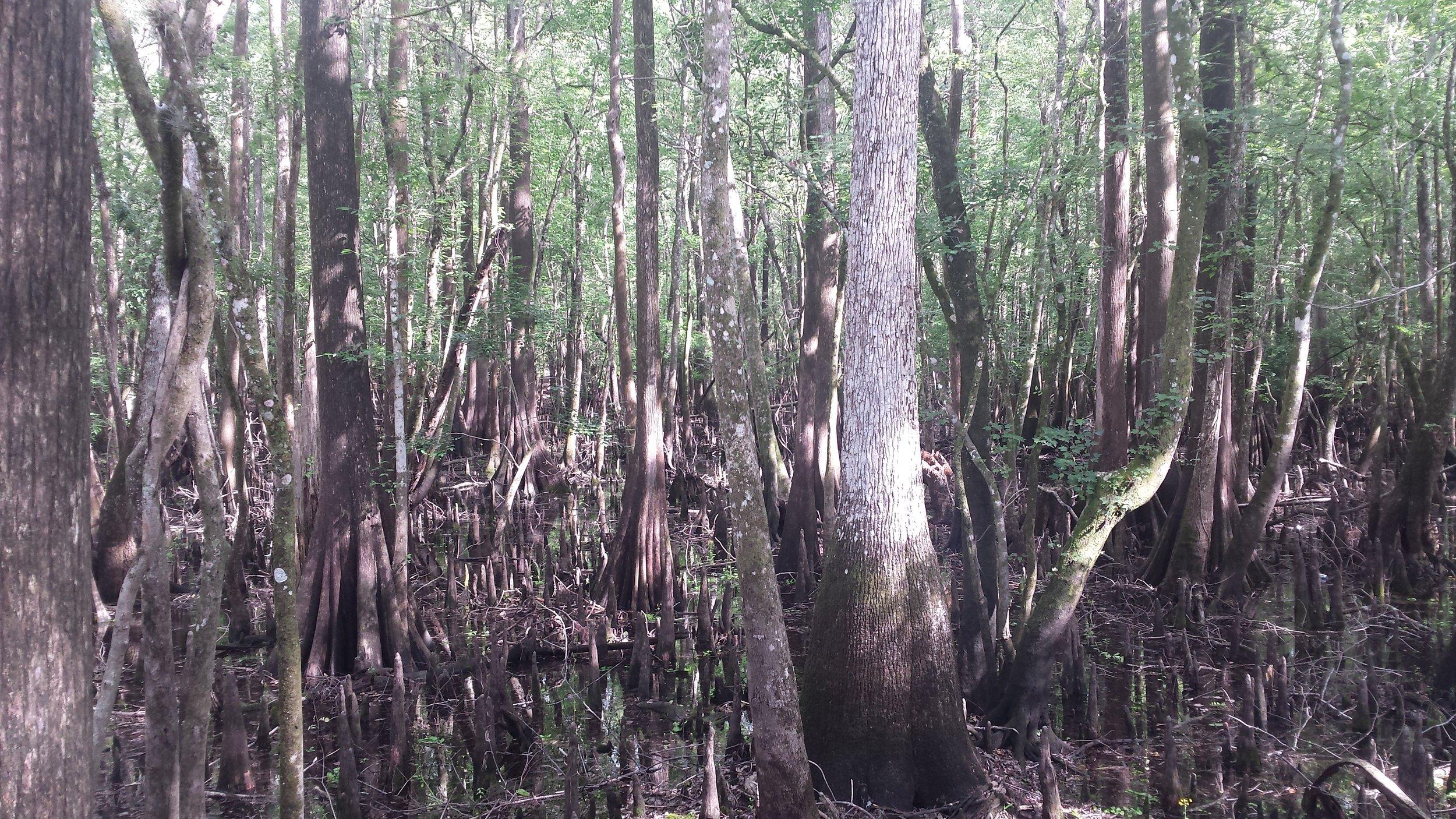 The light through the trees and sparkling on the water makes the swamp other-worldly.
