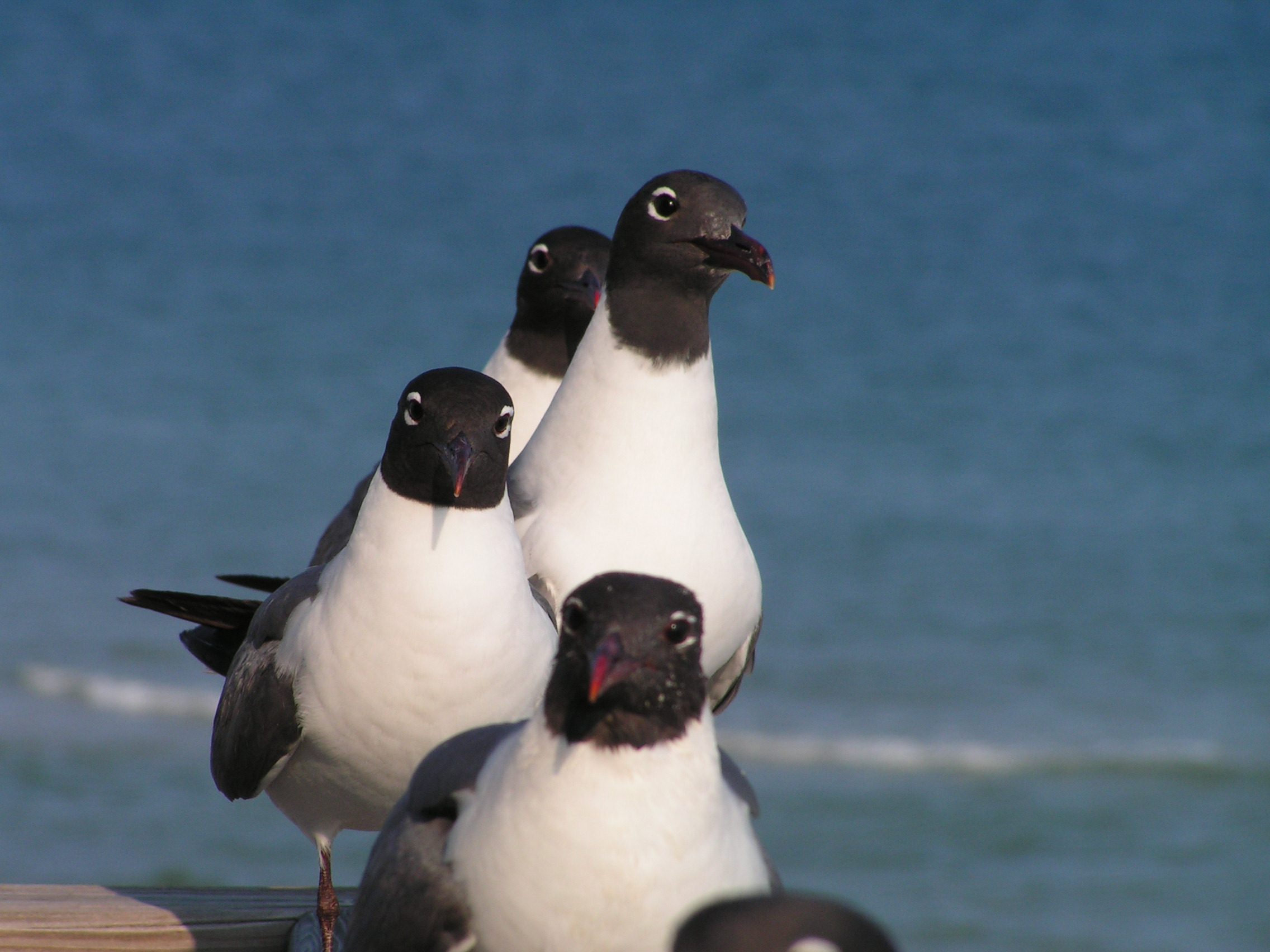 St. George Island hosts many types of seabirds - like these photogenic sea gulls!