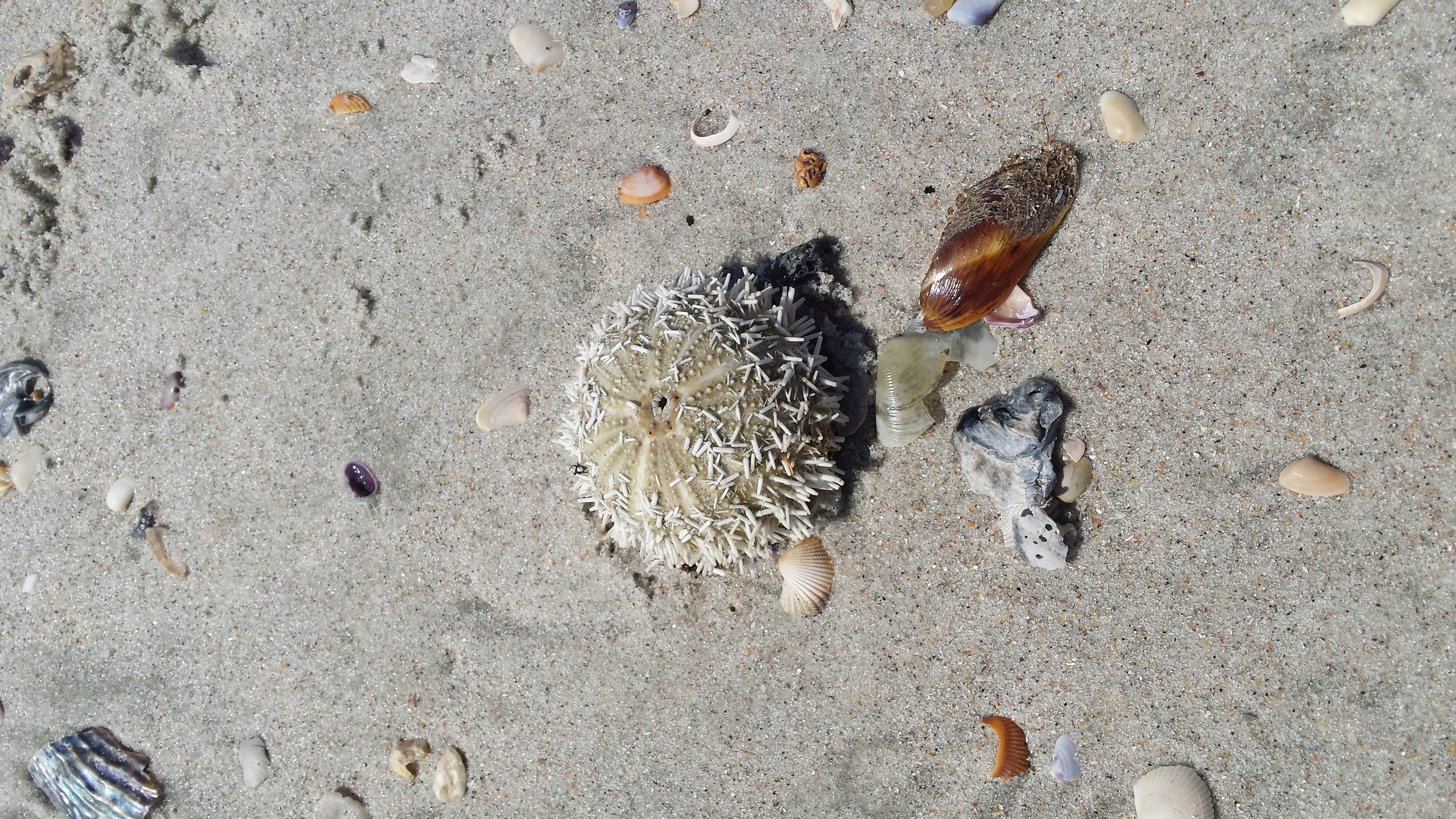 Little sea urchin and shells on the beach