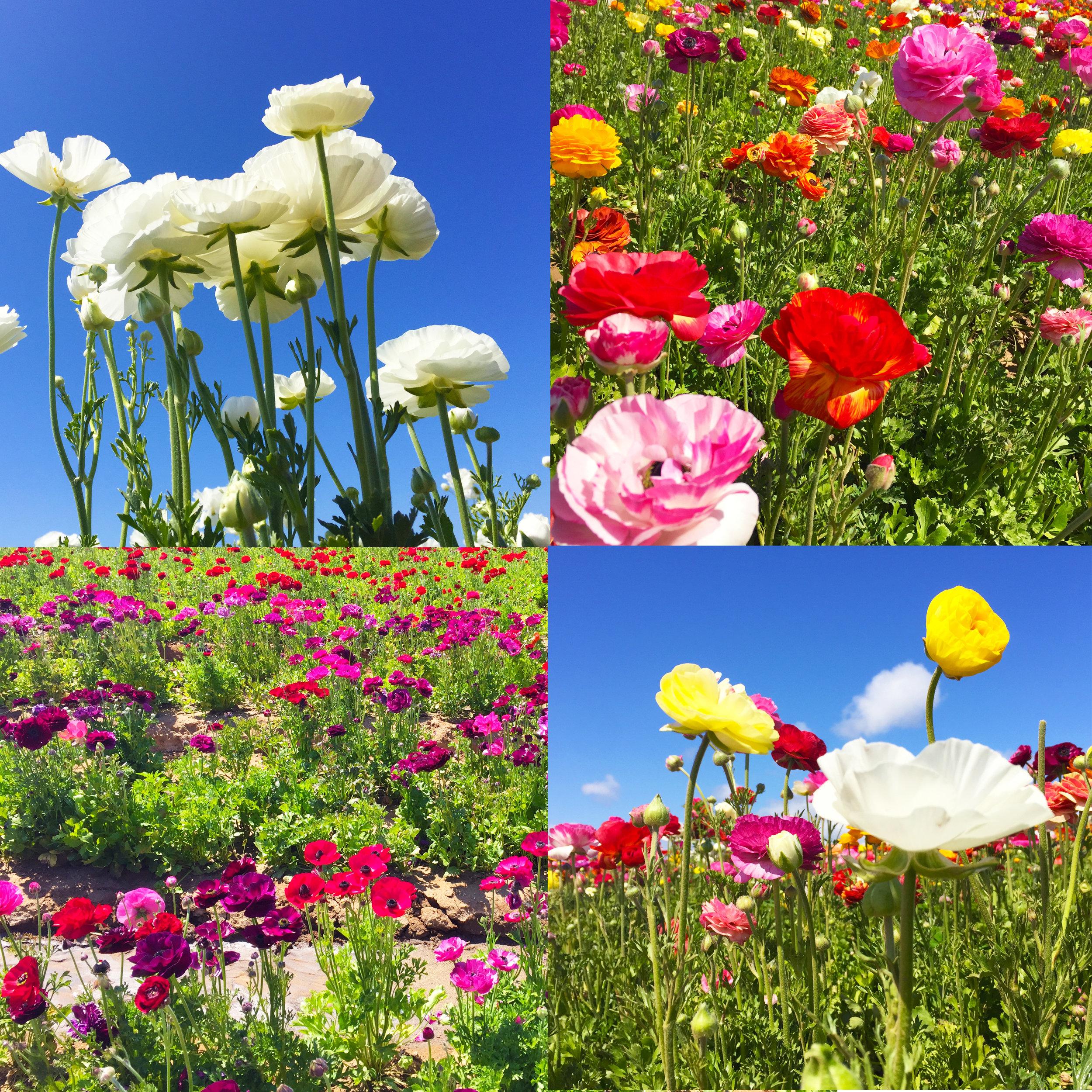 FLOWER FIELDS 2.jpg
