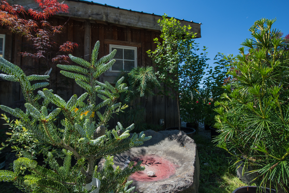 Korean Fir, Umbrella Pine, Japanese Maple, and more