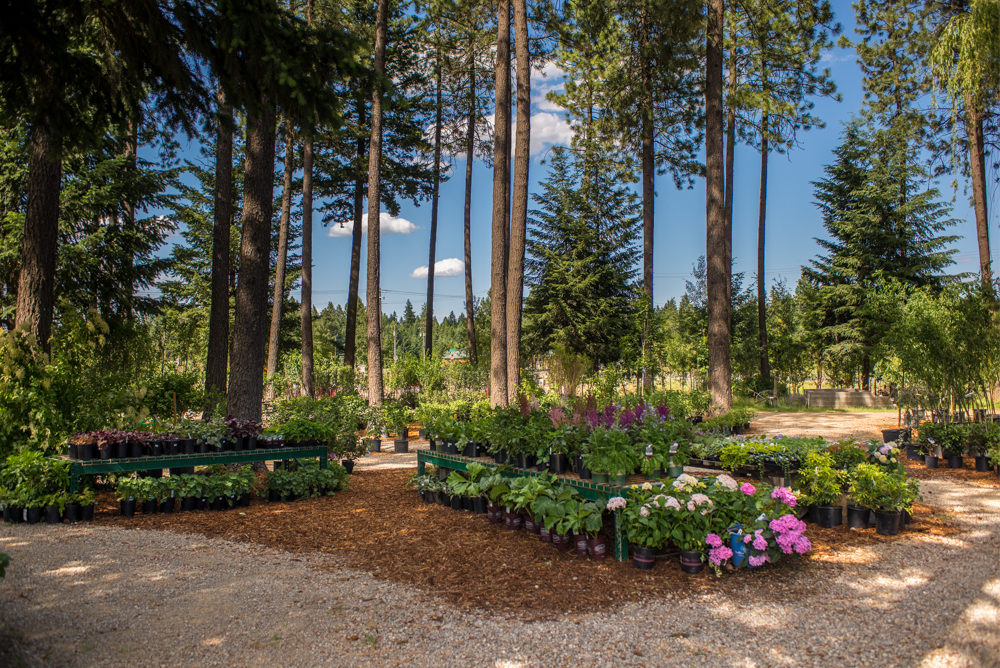 Some of our shade lovers under the natural cover of our mature fir and pine forest. Astilbe, hydrangeas, bleeding heart, hosta, h euchera