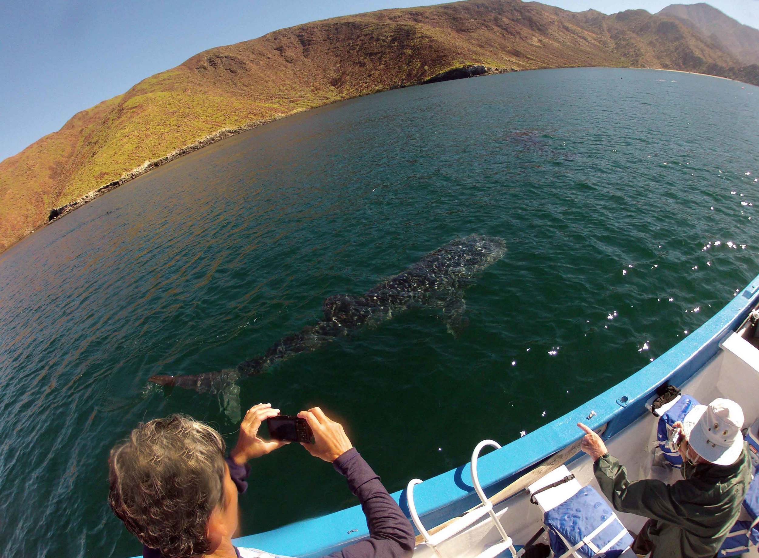 Docile whale sharks glide past a tour boat in the bay of Bahia de Los Angeles, Baja Mexico.                                                                                                                               ©Joanne DiBona