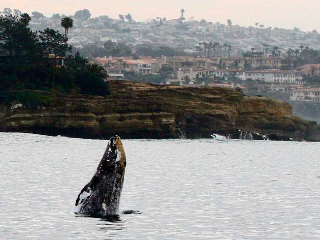 Photo courtesy Carla Mitroff, Dana Wharf Sportfishing & Whale Watching