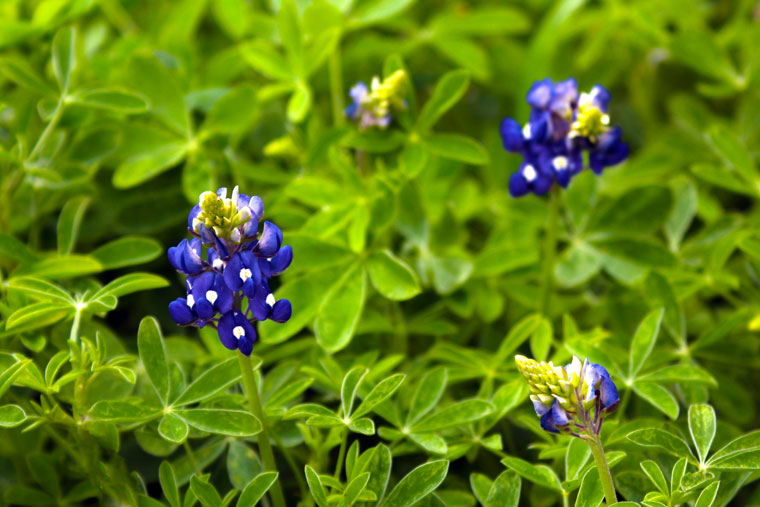 Close Up of the Famous Texan Blue Bonnet © Joanne DiBona