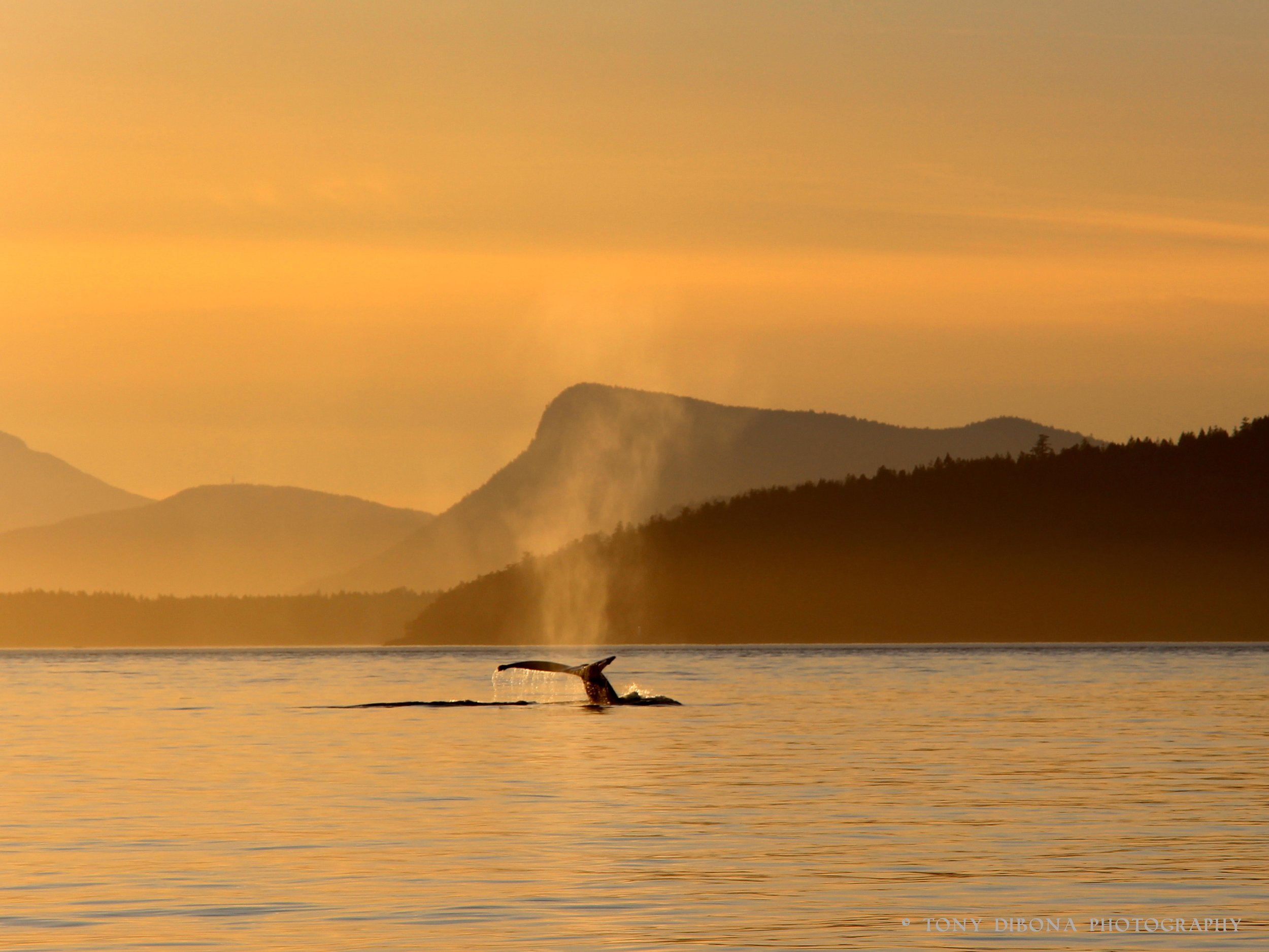A humpback whale frolics in the straits outside of Victoria Canada   © Tony DiBona Photography