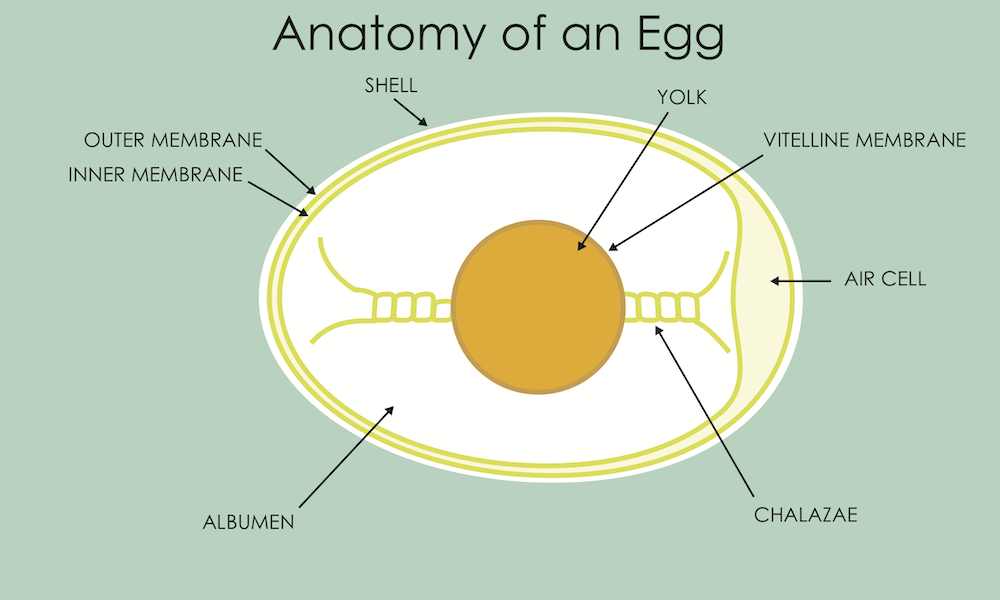 Anatomy of an egg diagram