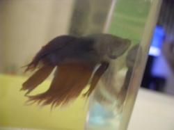 My first betta fish named Plum.