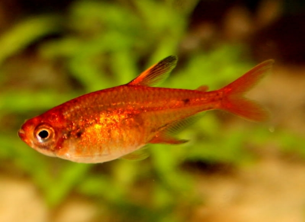 image from  http://fishkeepingadvice.com/top-5-tetras/