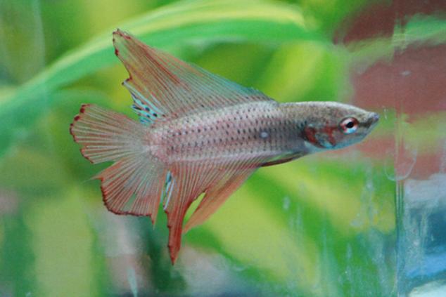 image from: http://www.fishlore.com/fishforum/betta-fish/71645-various-questions-fin-rot-regeneration-vitamin-supplements-rehab.html