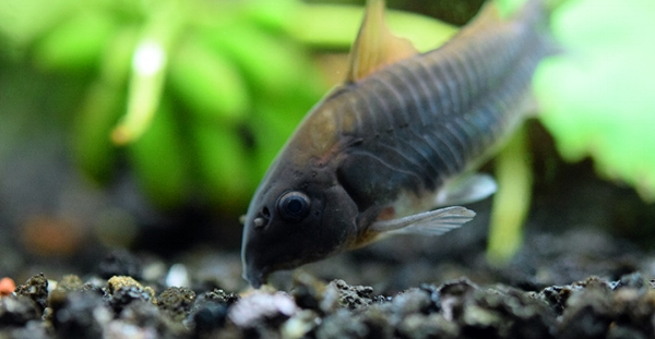 image from:  http://www.aquariumcarebasics.com/freshwater-aquarium-fish/cory-catfish/