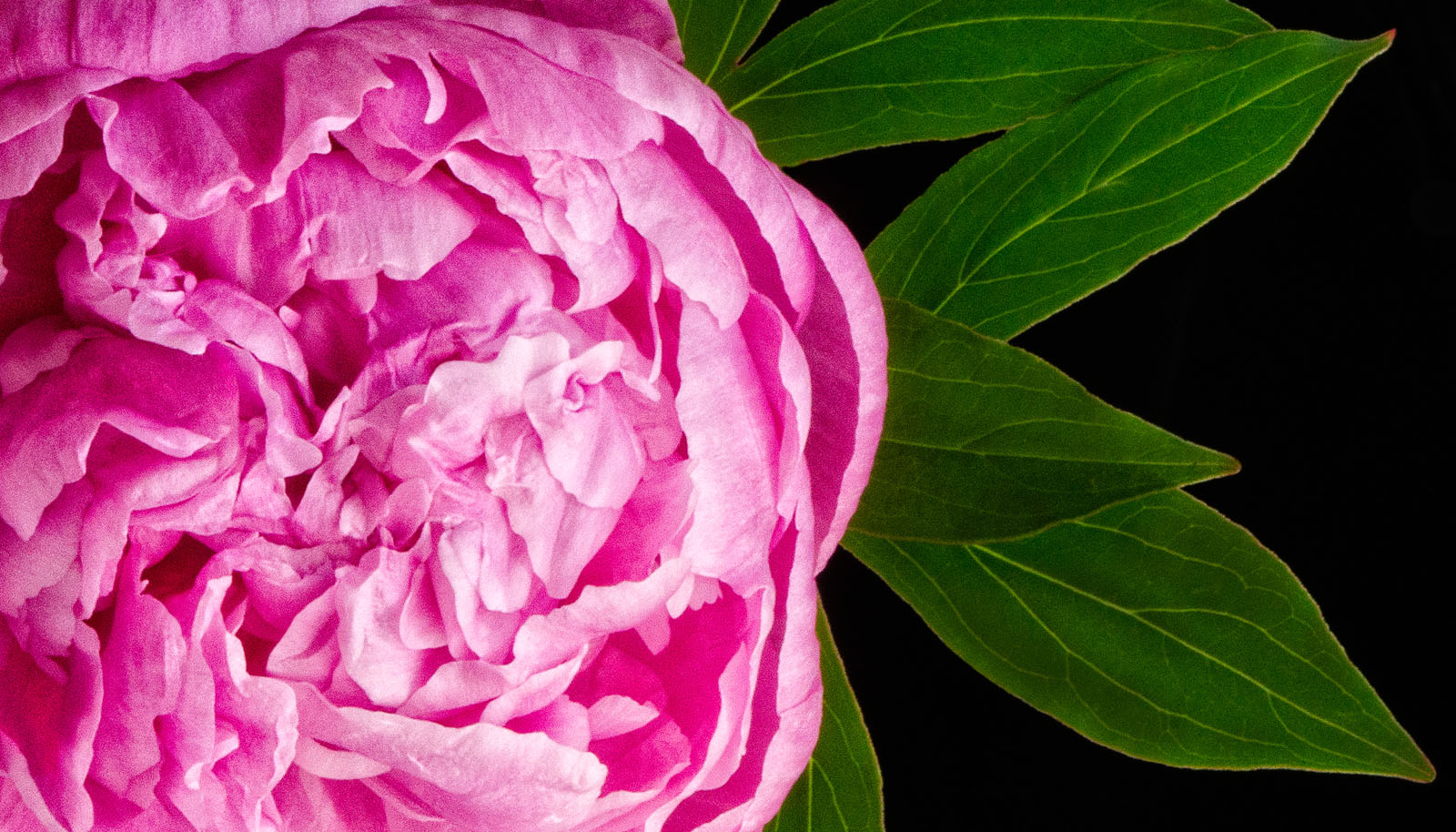 shopify-slider-sarah-hollander-peony-pink.jpg
