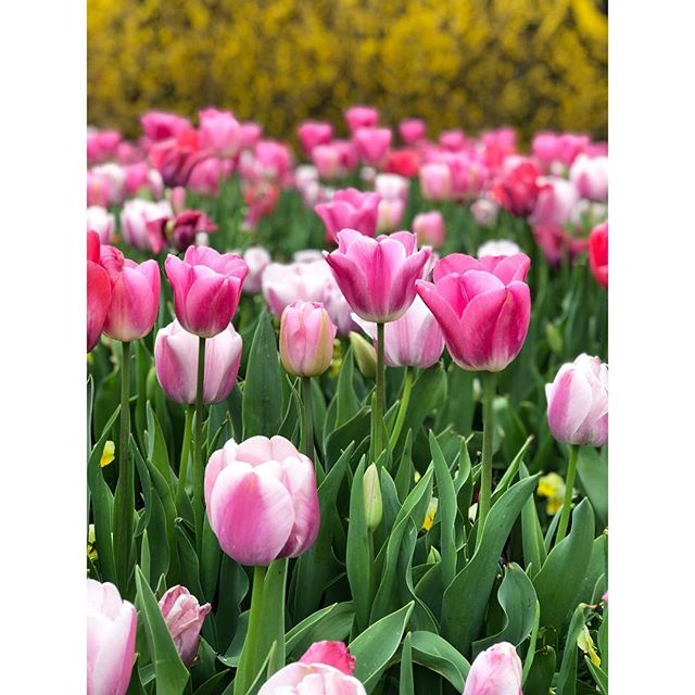 Spent the afternoon with my daughter at one of my favorite places — @thedallasarboretum.  We were enthralled by all the tulips.  Slide left to see more : ) . . . . #tulips #tulip #springflowers #springtime